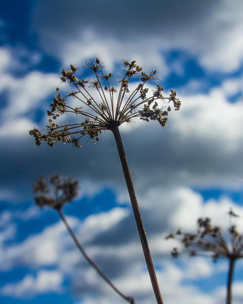 dried hogweed stalk against the background of autumn sky with cumulus clouds Fotografía