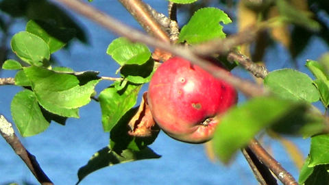 Branches of an apple tree with water blowing in the autumn wind Footage
