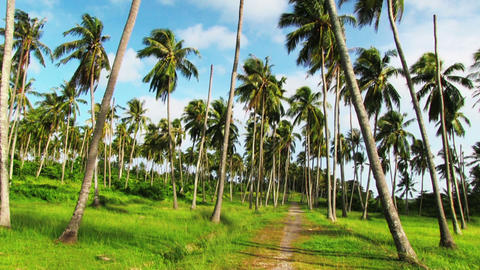 Palm Plantation stock footage