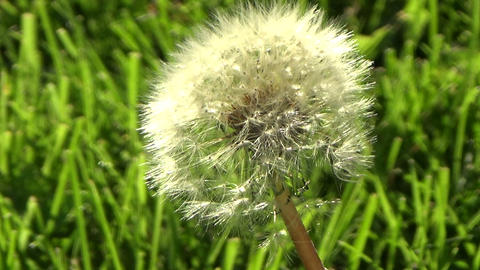 Dandelion flower in the green grass blowing in the wind Footage