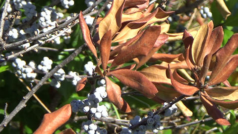 White frozen berry plant with brown dried leaves in autumn in Canada Live Action
