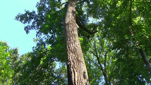 Vertical panoramic scene of a secular tree with a hollow cave in the summer Footage