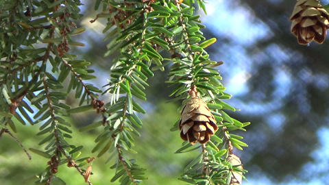 Closeup of a pine branch with cones blowing in the wind Footage