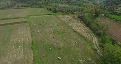 Sheeps Grazing Aerial Footage Turkey Footage