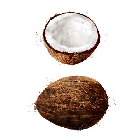 Coconut on white background. Watercolor illustration フォト