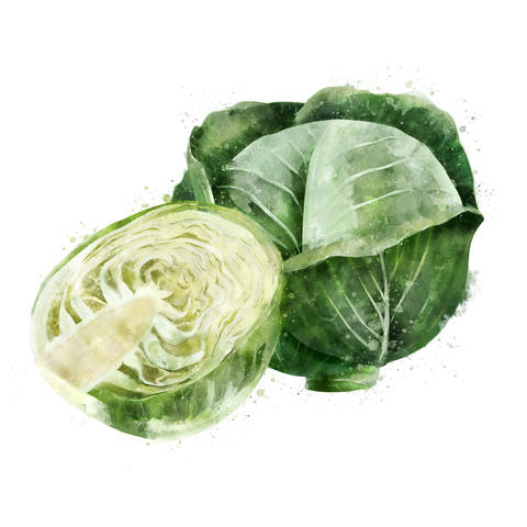 Cabbage on white background. Watercolor illustration フォト