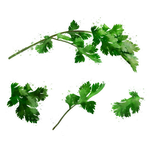 Cilantro on white background. Watercolor illustration フォト