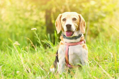 Beagle. A beautiful shot of a dog in the grass Photo