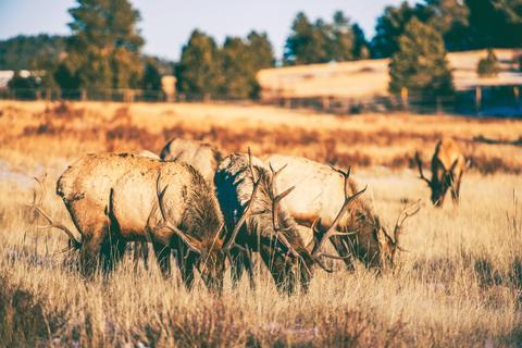 Elks Gang Meadow Photo