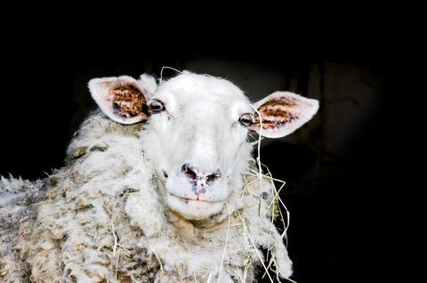 Sheep フォト