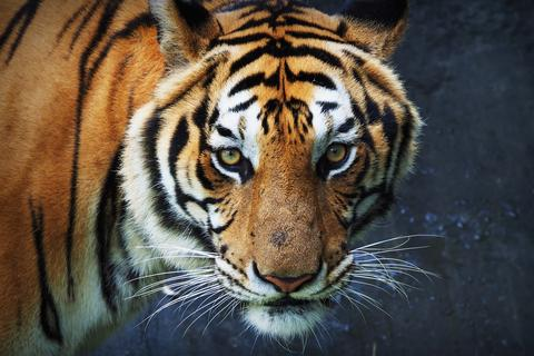 Tiger in Thailand zoo フォト
