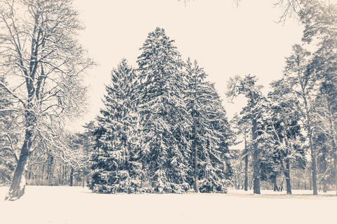 Old vintage photo. Tree pine spruce in magic forest winter day. Snow forest Photo