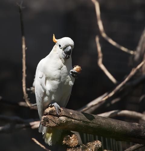 white cockatoo Photo
