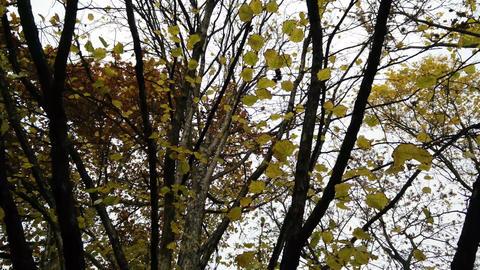 4K Falling Leaves Lowangle Autumn Scene 2 ライブ動画