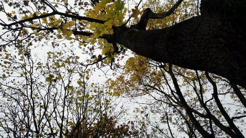 4K Tree on a Windy Fall Day Lowangle ライブ動画