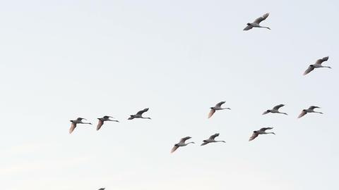 Big flock of swans flying at twilight slow motion Live Action