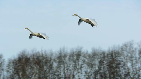 Couple of Swans Flying for Landing slow motion Footage