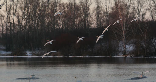 Flock of swans landing on the lake at sunset Footage