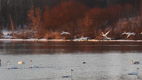 Slow motion landing Swans to lake at sunset Live Action