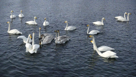 Swan Family On The Lake Slow Motion stock footage