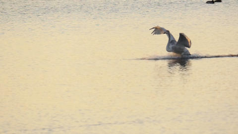 Swan landing on the lake at sunset in slow motion Footage
