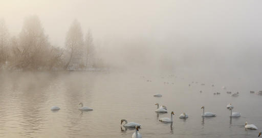 Swan lake at misty morning in winter Footage