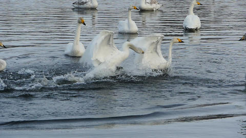 Swans Fight in slow motion Footage