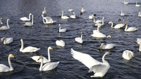 Swans on the lake waving wings slow motion Footage
