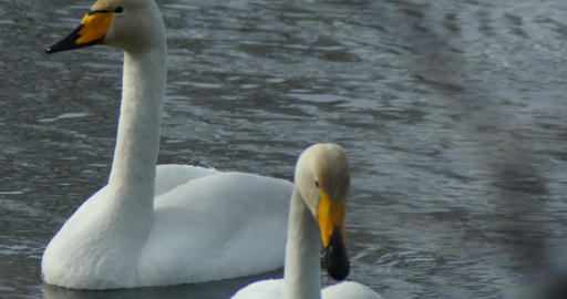 Swans swim in the lake close up Footage
