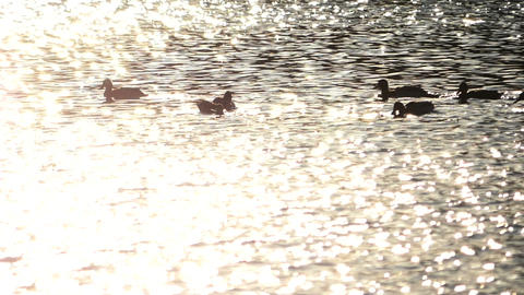 Wild Ducks in golden sunset water Live Action