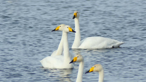 Wild Swans on the lake close up slow motion Footage