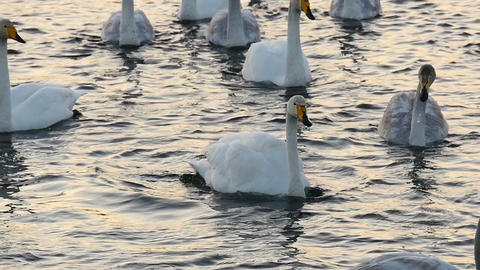 Wild swan waving wings close up slow motion Footage