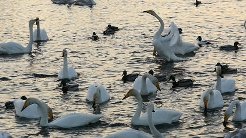 Wild swans and ducks swimming in pond in slow motion Footage