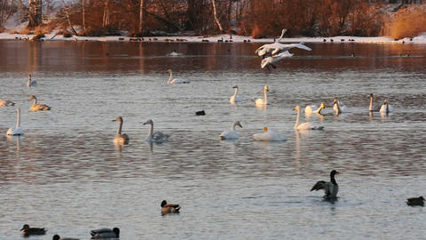 Wild swans flying above lake at sunset slow motion Footage