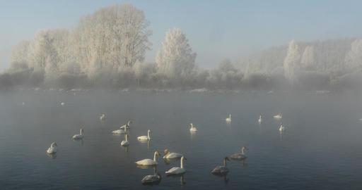 Winter landscape Swan Lake in Misty Morning Live Action