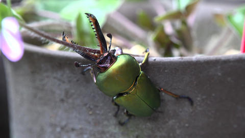 4K Insects Stag Beetle Collection