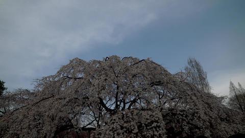 桜 風 japan sakura wind06 ビデオ