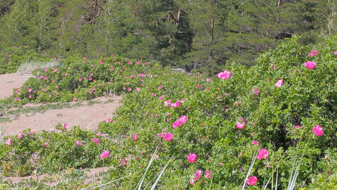 Bushes of wild roses blooming on sandy beach of Baltic sea Footage