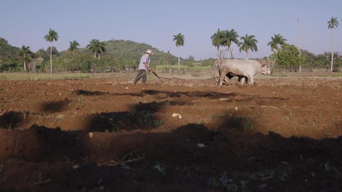 4 Man Farmer Working Hard Plowing The Soil With Ox Footage