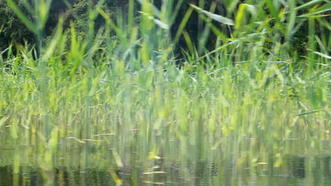 Boat tour on forest river. Bypassing reed beds Footage