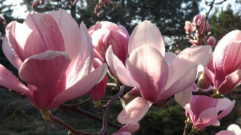 Bright and colorful flowering Magnolia trees in the... Stock Video Footage