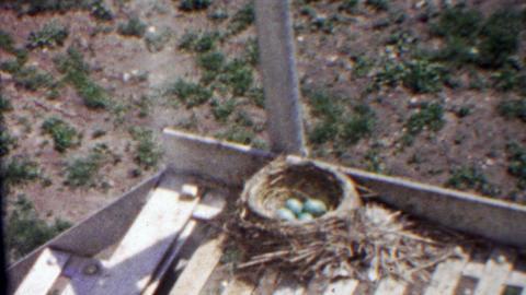 1958: Robin bird nest nursing blue eggs fire escape building Live Action