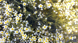 Water Buttercup, thousands of flowers and millions of white petals Footage