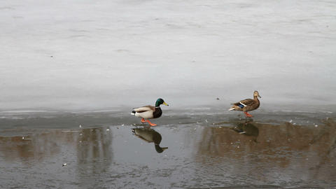Ducks Swimming In The River stock footage