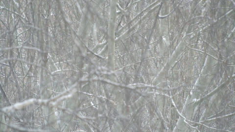 Snowfall in the branches Footage