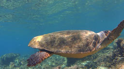 Underwater, sea turtle over rocks Footage