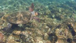 Green sea turtle along rocky ground Footage