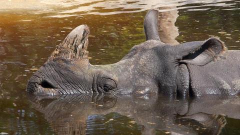Sleeping rhinoceros in the water Footage