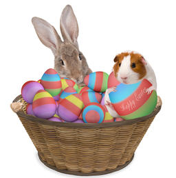 Cute bunny have a basket with easter eggs between legs and guinea pig have a big Photo