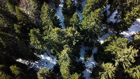 Flying over pine forest Image